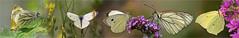 White butterfly party (Foto Martien thanks for over 25 million views) Tags: greenveinedwhite kleingeaderdwitje pierisnapi smallwhite kleinkoolwitje pierisrapae largecabbagewhite grootkoolwitje pierisbrassicae blackveinedwhite grootgeaderdwitje aporiacrataegi commonbrimstone citroenvlinder gonepteryxrhamni papillon vlinder mariposa schmetterling falter farfalla white wit europe asia northafrica passiflorahoeve zorgboerderij zorginstelling harskamp butterflygarden vlindertuin veluwe dutch netherlands nederland holland sony alpha macro minoltamacro100mm28mm macrophoto macrofoto martienuiterweerd fotomartien