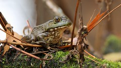 october bullfrog (don.white55 That's wild...) Tags: donpwhitephotography canoneos70d tamronsp150600mmf563divcusda011 animal frog bullfrog amphibian canon tamron tamron150600mm eye frogeye green harrisburgpennsylvania naturephotography naturephotographer pennsylvania nature wildlife wildwoodlake wildwoodpark wildwoodnaturepreserve lowangle outdoors pennsylvaniawildlife thatswildnaturephotography coth5 ngc npc