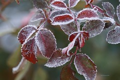 Frosty Morning (Anton Shomali - Thank you for over 3 million views) Tags: frostymorning frost morning cold weather coldweather ice icy wet plant tree red green winter fall season freeze sony slta77v crystals crystal moisture nature photo photography autumn garden backyard