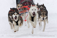 Sled dog race (My Planet Experience) Tags: alaskan husky huskies siberian snowdog sleddog sled snow dog animal nordic sport speed race racing running winter alaska yukon siberia myplanetexperience wwwmyplanetexperiencecom