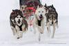 Sled dog race (My Planet Experience) Tags: alaskan husky huskies siberian snowdog sleddog sled snow dog animal nordic sport speed race racing running winter alaska yukon siberia myplanetexperience wwwmyplanetexperiencecom