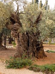 Millenial Olive Tree at Gethsemane Park, Jerusalem (Mario Feierstein) Tags: jerusalem olivetree gethsemane