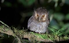 Long-whiskered Owlet (Xenoglaux loweryi) (Gavin Edmondstone) Tags: xenoglauxloweryi longwhiskeredowlet owl bird owletlodge abrapatricia peru