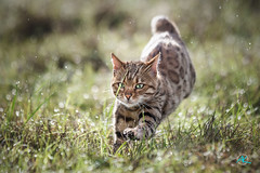 High Speed Lily (Andreas Krappweis - thanks for 3 million views!) Tags: bengal brown bengals spotted bengalcat running run fast watersplash meadow grass wet fresh morningdew shallowdof bokeh purebreed outdoor domesticcat fall autumn flashbengals canoneos1dmarkiii canonef70200mm128lisii