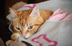 It's cold outside! - Qué frío hace fuera! (En memoria de Zarpazos, mi valiente y mimoso tigre) Tags: spritz bed blanket cat gato ginger orange greeneyes sweetdreams mycat ilovemycat funny cc100