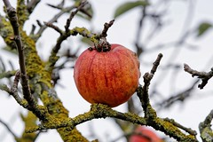 Winter Apple | In the Fields (picsessionphotoarts) Tags: sonyphotography sonyalpha sony sonyalpha6500 ilce6500 detailverliebt details festbrennweite primelens fe85mmf18 inthefields nature stilleben stillifephotography landleben countryside winteräpfel winterapples äpfel apples