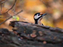 Mr. Woodpecker (holgerreinert) Tags: 200 200mmf28 2019 eichhörnchen elmarit hes200 leica nature november squirell squirrellove naturelove