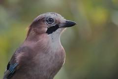 Jay (Eichelhäher)4738 (alfred.reinartz) Tags: singvogel vogel eichelhäher garrulusglandarius bird jay olympus omd