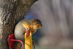 Caught Fur Handed (Randall R) Tags: squirrel foxsquirrel ngc nature rodent mammal animal nebraska tree corn