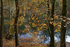 Autumn woodland (Adam Swaine) Tags: trees autumn autumncolours autumnviews beautiful lakes tree colours seasons leaves england english britain british adamswaine 2019 naturelovers nature naturesfinest golden sunlight