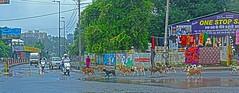 Street Doge Parade DSC_5573 (JKIESECKER) Tags: dogs doge india streetscenes streetsigns streetvendors streetdogs udaipur rajasthan parade cityscenes citylife citystreets city
