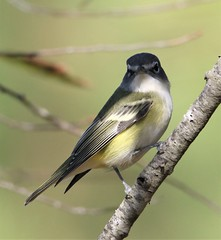 Blue-headed Vireo (Vireo solitarius solitarius) 11-02-2019 Assateague I. NS--Maintenence Yard, Worcester Co. MD 6 (Birder20714) Tags: birds maryland vireos vireonidae vireo solitarius