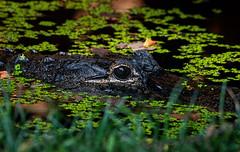 Lurking in the water (*Millie*) Tags: tomistoma falsegharial falsegavial crocodilian smithsoniannationalzoo washingtondc zoo reptile tomistomaschlegelii water duckweed grass eye lurking canoneosrebelt6i ef70300mmf456isiiusm endangered reflection milliecruz