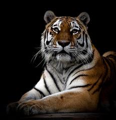 The real Sher Khan.... Taken at the Big Cat Sanctuary (jopowney) Tags: bigcatsanctuary bigcat bigcatsaboutthehouse beauty beautyatitsbest curious dontcomeanycloser photographyday naturesfinest tiger