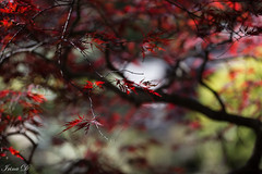 Impressionist autumn (Irina1010) Tags: bokeh highlights litght colors maple tree branches impressionist autumn foliage red leaves beautiful nature outdoors canon gibbsgardens garden ngc coth5 npc