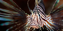 Evil eye (Elizabeth Bennett and Gérard Cachon) Tags: bonaire caribbean dutch frontporch nauticam netherlandsantilles wannadive diving eye invasive lionfish ocean reef scuba sea water fins sting toxin poison mouth red stripes macro 100mm pterois volitans