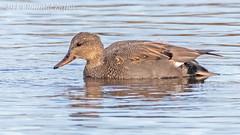 Gadwall IMG_9010 (ronzigler) Tags: gadwall duck drake waterfowl bird watcher avian sigma 150600mm nature canon
