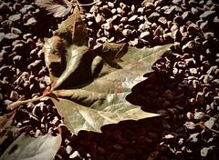 herfstblad (delnaet) Tags: herfst autumn automne bladeren leafs feuilles november