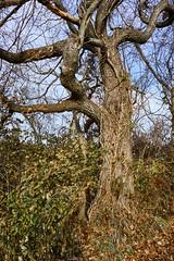 Gnarly Tree (Modkuse) Tags: autumn tree nature natural natureart art artphotography artistic artisticphotography photoart velvia fujifilmvelviasimulation fujifilmxh1velviasimulation xh1 fujifilmxh1 fujifilm fujinon fujinonxf1655mmf28rlmwr xf1655mmf28rlmwr forest woods captureone affinityphoto