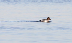 Common Goldeneye (SusieMSB7) Tags: water birds nature ducks goldeneye