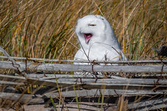 Tired Snowy Owl (djrocks66) Tags: snowyowl snowy owl bird birds pray raptor tallons wildlife nature outdoors animals white nikon d500 sigma iloveny longisland ny beach hamptons