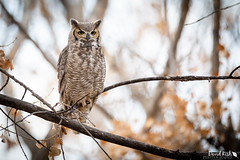 Great Horned Owl (dekish1) Tags: r1a7888jpg greathornedowl owl raptor perch canon5dmarkiv canon600mmf4iii cherrycreekstatepark colorado