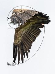 Fibonacci day (danielfi) Tags: naturaleza nature fauna wildlife animales animals aves birds birdwatching buitre leonado griffon vulture asturias ngc gyps fulvus fibonacci