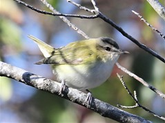 Red-eyed Vireo (Vireo olivaceus) 11-02-2019 Assateague I. NS--Maintenence Yard, Worcester Co. MD 2 (Birder20714) Tags: birds maryland vireos vireonidae vireo olivaceus
