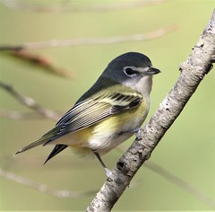 Blue-headed Vireo (Vireo solitarius solitarius) 11-02-2019 Assateague I. NS--Maintenence Yard, Worcester Co. MD 5 (Birder20714) Tags: birds maryland vireos vireonidae vireo solitarius