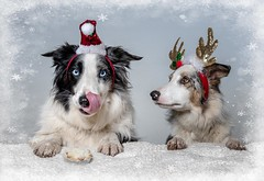 Xmas card ICPaws and Pawsforaphoto (Chris Willis 10) Tags: star willchristmas dog pets animal snow winter purebreddog canine cute puppy christmas white fun mammal friendship domesticanimals outdoors cheerful happiness bordercollie hat doggies mince pie card