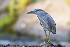 Young Night Heron #3 (mirosławkról) Tags: wild wildlife animal bird poland nature nikonnaturephotography 150600 ornithology ślepowron night heron nycticorax river wisła