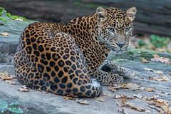 BVG_4243 (Borreltje.com) Tags: burgerszoo zoo dierentuin arnhem nikon
