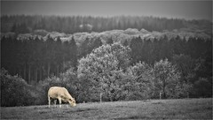 A quietly grazing cow on a dreary day in Belgium (bert • bakker) Tags: koe cow deardennen belgië belgium bomen trees heuvel hill weide meadow regenachtig dreary gras grass nikon85mm18g