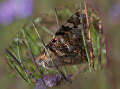 Vanessa Cardui (G.Sartori.510) Tags: pentaxk1 hdpentaxda14xafawrc smcpentaxa50mmf14 farfalla butterfly vanessacardui lepidoptera nymphalidae