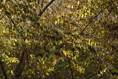 Colors Of Autumn (Modkuse) Tags: fall fallcolors fallcolor autumn autumnleaves autumncolor autumncolors tree trees nature natural natureart photoart fineartphotography fineart colorful colors naturecolors velvia fujifilmvelviasimulation fujifilmxh1velviasimulation captureone fujifilmxh1 xh1 fujinonxf1655mmf28rlmwr backlit xf1655mmf28rlmwr outdoors