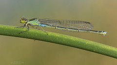 Erythromma viridulum (Charpentier, 1840) (Pipa Terrer) Tags: erythrommaviridulum zigoptera odonata insecta invertebrados insectos campodecartagena caballitodeldiablo arthropoda