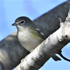 Blue-headed Vireo (Vireo solitarius solitarius) 11-02-2019 Assateague I. NS--Maintenence Yard, Worcester Co. MD 3 (Birder20714) Tags: birds maryland vireos vireonidae vireo solitarius
