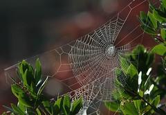 Fragile? (lincerosso) Tags: ragnatele ragni spiders tenacia resistenza giardino autunno rugiada bellezza armonia fragilità