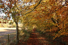 I saw the road down which i could have lived a dozen lives (worldthroughalens74) Tags: beech autumn copper sun uk england staffs outdoosrs nature canon sigma woodland