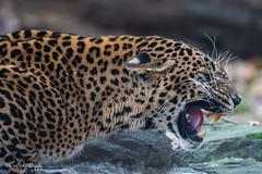 BVG_4265 (Borreltje.com) Tags: burgerszoo zoo dierentuin arnhem nikon