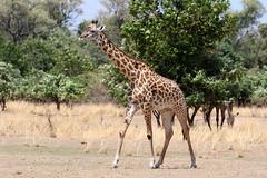 Thornicroft's Giraffe - Giraffa camelopardalis thornicrofti (Roger Wasley) Tags: thornicroft's giraffe giraffacamelopardalis thornicrofti south luangwa national park zambia africa african animal wild wildlife river