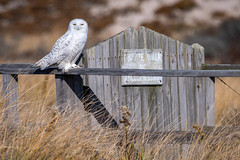Snowy Owl (djrocks66) Tags: snowyowl snowy owl bird birds pray raptor tallons wildlife nature outdoors animals white nikon d500 sigma iloveny longisland ny beach hamptons