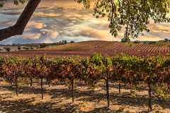 Autumn Vines (larwbuck) Tags: autumn california clouds colors composite fall travel tree vineyards