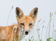 FOXY (Nutzy402) Tags: fox wildlife nature foxy omaha nebraska critters cute