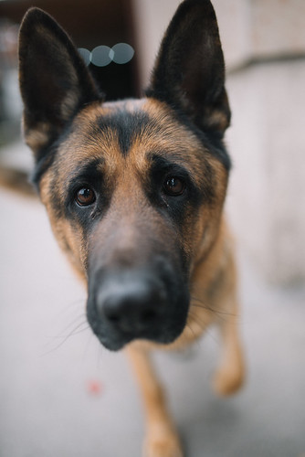 German Shepherd portrait with beautiful eyes.