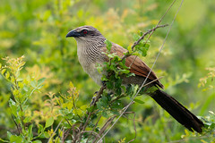 Centropus superciliosus (www.endlessfields.ch) Tags: bird animal africa tanzania tansania wildlife wildlifephotography amazing beautiful sonya7riv sony 400mm mikumi white brown coucal