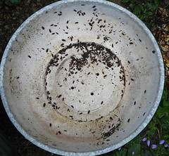 A colony:  23.11.19. (VolVal) Tags: dorset bournemouth boscombe garden bulbbowl woodlice colony november
