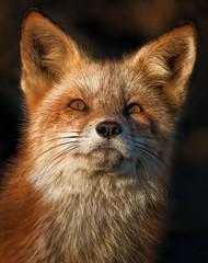 Hearts on Fire (Kathy Macpherson Baca) Tags: fox red nature mammal predator earth beach dunes sunset planet wildlife canon telephoto world mice hunter