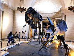 Dinosaurs Battle (EmperorNorton47) Tags: naturalhistorymuseumoflosangeles expositionpark california photo digital autumn fall dinosaurs tyrannosaurusrex trex tricerotops gallery museum bones fossils museumgoers