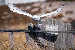 Snowy Owl (djrocks66) Tags: snowy owl animals animal wildlife raptor nature outdoors beach cold snowyowl white talons wings claws birds bird bif wingspan